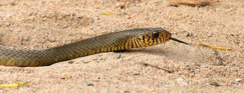 Un id snake 161207 kanakapura Road way to Galibore