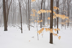 December Woods: Winter Solstice (Mingfong) Tags: trees winter white snow fog mystery landscape woods december snowy foggy story madison wintersolstice mysterious albumcover stories  luminous     luminouslandscape universityofwisconsinarboretum  mingfong musicflyer mingfongjan   artbrochure  sketchoflight mingfongphotography
