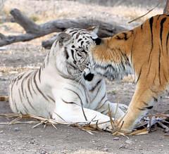 Playful kitties (kjdrill) Tags: cats white blanco animal cat mammal big stripes tiger exotic tigers bengal tigre endangeredspecies 4957a