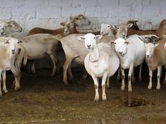 Katahdin ewes