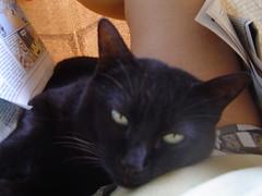 Adoro esse colinho (Elenara Stein Leito) Tags: cat blackcat gato preta