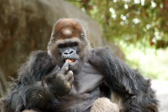 Ivan...the most Handsome Gorilla ever! (tammyjq41) Tags: gorilla ivan zooatlanta tjs tjd specanimal impressedbeauty