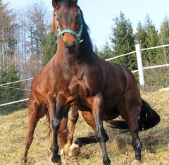 Game (forestsoul) Tags: horses horse pets animals farm country slovenia equestrian stallion equine quarterhorse loh horsesrule unlimitedphotos forestsoul