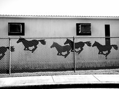 Wild Horses (Chicago Love) Tags: school horses bw race blackwhite gate texas houston chicagolove