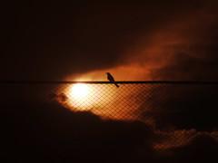 Blackbird singing in the dead of night  (Nika Fadul) Tags: light red sun bird contraluz darkness cerca duetos mnicafadul nikafadul
