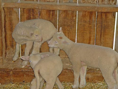 Lambs at Conner Prairie