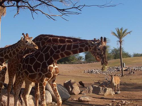 Giraffes @ Phoenix Zoo 2