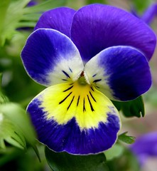 Look into my face (fossibear) Tags: blue flower macro nature face tepasaste diamondclassphotographer flickrdiamond brillianteyejewel