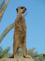 Surikata posing (frisbeeace) Tags: life park wild argentina animals zoo temaiken abigfave photofaceoffwinner a3b pfogold