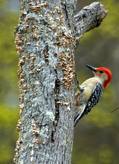 Woodpecker (pjnr56) Tags: birds newjersey nikond50