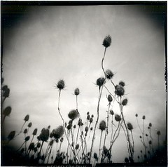 Flowers in winter. (candido baldacchino) Tags: holga 120s