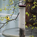 American Goldfinches 1