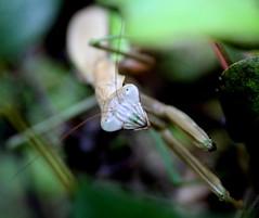 Praying mantis,,I see you!! (Tina  **~) Tags: macro bug mantis eyes funny bokeh praying