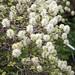 Erlenblatt-Federbuschstrauch (Fothergilla gardenii)