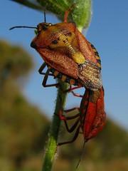 Pirates! (Gaby.Bernstein) Tags: macro nature closeup bug insect spring gaby wildlife beetle insects beetles bernstein macroextreme matingbeetles carpocorismediterraneus platinumheartaward bernsteingaby skullhemiptera gabybernstein