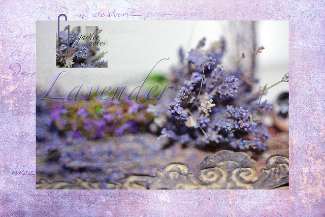 lavender garden notes