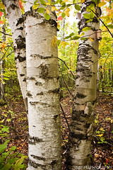 White Birch Forest - Pictured Rocks National Lakeshore