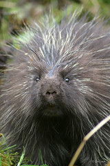 Porcupine sweety (zpaperboyz) Tags: wild canada nature face animal photography rodent photo eyes bc image wildlife canon20d picture pic photograph creature porcupine quill princerupert erethizondorsatum tamronlens northamericanporcupine anawesomeshot chadgraham erinaceomorpha
