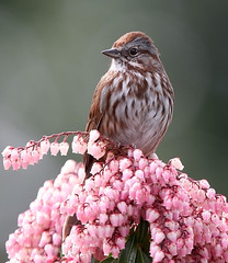 Song Sparrow (janruss) Tags: friends bird bravo sparrow bec inspire avian supreme birdwatcher ogm songsparrow melospizamelodia themoulinrouge naturesfinest blueribbonwinner faveme opl naturescall 200faves outstandingshots golddragon wingedwonders mywinners abigfave outstandingshotshighlight goldmedalwinner platinumphoto goldenstars colorphotoaward impressedbeauty aplusphoto flickrplatinum irresistiblebeauty goldenphotographer diamondphotographer avianexcellence favemegroup7 diamondclassphotographer flickrdiamond megashot citrit excellentphotographerawards exemplaryshots onlythebestare thefinalcrown naturewatcher overtheexcellence platinumheartaward natureoutpost betterthangood theperfectphotographer superperfectphotographer goldwildlife onephotoweeklycontest theroadtoheaven goldstaraward bestofspring world100f exploreheaven treeofhonor exquisiteimage platinumsuperstar multimegashot topqualityimage alemdagqualityonlyclub overtheshot magicdonkeysbest photoexel obq 100commentgroup goldenvisions colorphotoawardbronze colorphotoawardsilver janruss janinerussell
