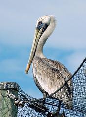 Resourceful (fotoJENica) Tags: naturaleza bird net nature nikon florida miami beak feathers pelican ave pico plumas pelicano naturesfinest supershot specanimal jennyromney anawesomeshot