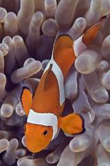 anem9294pcw (gerb) Tags: orange topf25 topv111 1025fav 510fav wow topv555 topv333 underwater 500v20f searchthebest lovely1 awesome topv1111 topv999 scuba fv5 loveit pi anemone topv777 d100 thumbsup sipadan animalplanet fins anemonefish aquatica naturesfinest 70180mmf4556dmicro pfo tvx tu5 photofaceoffwinner pfogold