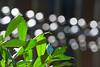 Season's Light (olvwu | 莫方) Tags: usa macro green canon ga fence georgia leaf dof bokeh 100mm urbannature savannah jungpangwu oliverwu oliverjpwu supershot urbannatureblog canonef100mmmacrof28usmlens olvwu jungpang 莫方 吳榮邦