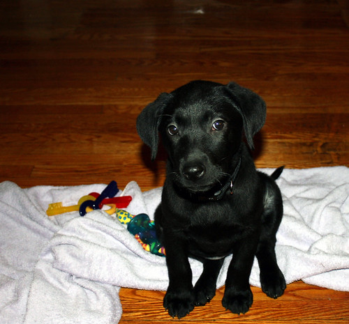 Labrador Retriever Puppy Midnight