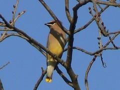 Cedar Waxwing (Lollie Dot Com) Tags: bird cedarwaxwing pleaseid lolliedotcompix p1350070nn