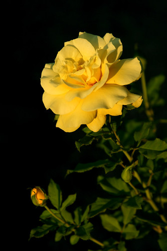 the yellow rose of ... california