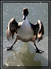 Donald Duck (-VRo-) Tags: animals duck animaux canard glace plume ecomuseum photoqubec lysdor animauxqc