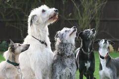 A handful. (kerri.o) Tags: dogs sit sausages attention wolfhound irishwolfhound handful lurcher donttrythisathome deerhound bribery weekfour 5dogs rescues allfive 52weeksaboutu2008 an2009allgonenowexcpttealeaf