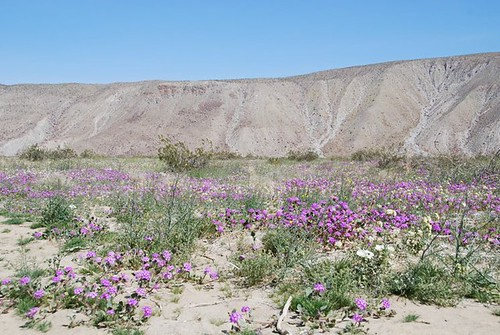 purple wildflowers at Anza-Borrego Desert Park