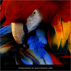 Who's afraid of red, yellow and blue? (Edgar Thissen) Tags: bird nature colors birds closeup zoo spring bravo feathers parrot macaw ara barnettnewman scarletmacaw aramacao epe mw naturesfinest dewissel edgarthissen 28398 specanimal diamondclassphotographer flickrdiamond whosafraidofredyellowandblue