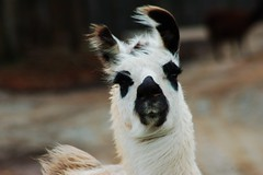 This is an EVIL LlAMA (tammyjq41) Tags: llama evil tjs tjd lazy5ranch andforalittlemoreentertainment anotherpartofmyadventureswithvalerie