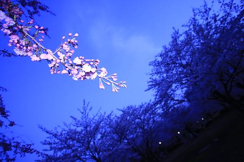Cherry blossoms in Kiba Park, Tokyo 02