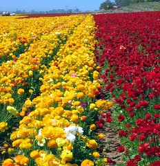 Flower Field Color Fiesta in Carlsbad, California (moonjazz) Tags: california flowers red color nature beautiful yellow wow wonder spring rojo harvest vivid ranunculus rows bonita bloom crops agriculture carlsbad pure commerical carlsbadflowerfield supershot amirillo