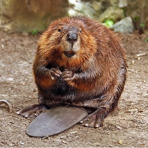 Happy Beaver by stevehdc, on Flickr