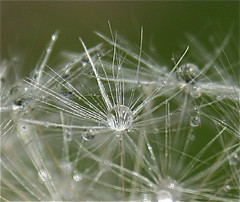 Delicate Flower (CaronPhotography) Tags: macro shower dandelion loveit raindrops msh1108 brillianteyejewel macromarvels msh11081 flickrlovers loopyapplecaron