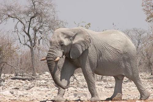 Elephant at  Kalkheuwel waterhole in Etosha