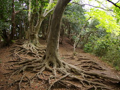 Rumb al Gran Buda / The Path of the Great Buddha (SBA73) Tags: wood tree nature japan forest arbol honeymoon earth path kamakura roots natura bosque nippon terra cami arbre nihon jap bosc japn raices arrels  anawesomeshot viatgedenoces colourartaward greatbuddhapath
