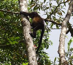 Mono aullador Parque Volcan Arenal La Fortuna Costa Rica 07 (Rafael Gomez - http://micamara.es) Tags: parque volcán arenal animales fauna la fortuna costa rica howler monkey mono aullador volcan animal arbol arboles