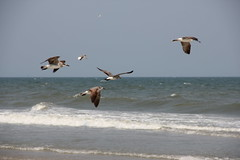 (savinger) Tags: family vacation seagulls beach sc island south carolina pawleys avinger