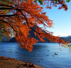 Coming home... (Hankye99) Tags: autumn lake tree swan 2007 themoulinrouge naturesfinest blueribbonwinner greatphotographers 35faves 25faves mywinners abigfave platinumphoto anawesomeshot onlyyourbestshots lakeoflugano goldenphotographer diamondclassphotographer flickrdiamond excellentphotographerawards naturewatcher overtheexcellence colourartaward platinumheartaward artlegacy hankye99 thegoldenmermaid theperfectphotographer bachspicsgallery thegardenofzen theroadtoheaven thegoldendreams exquisiteimage