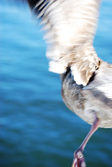 (Z is for Zo) Tags: ocean california santa blue usa brown white motion america pier flying seagull united leg wing off cruz boardwalk states taking flapping