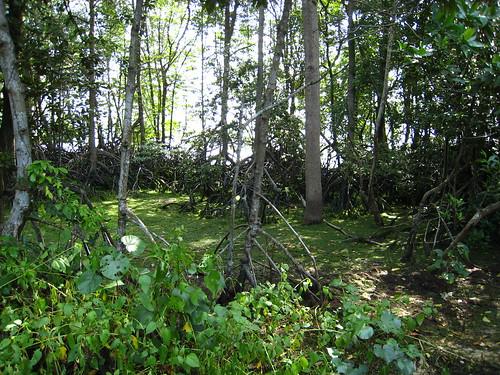 IMG_2419 mangroves