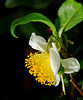 Tea Flower (autan) Tags: flower japan tea camellia 茶 naturesfinest 10faves laflormasbella mywinners abigfave camelliasinesis flowerwatcher チャノキ dsc4754b