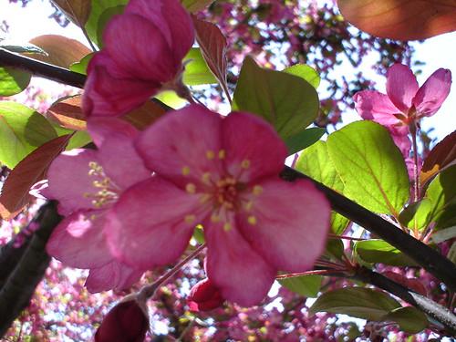 cherry_tree3