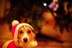 Pochiko-Santa (moaan) Tags: santa christmas leica dog thanks digital 50mm costume outfit dof bokeh f10 m8 santaclaus noctilux merrychristmas welshcorgi gratitude christmastime 2007 explored pochiko leicam8 leicanoctilux50mmf10 bokehwhores gettyimagesjapanq1 gettyimagesjapanq2
