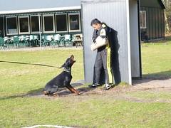 Manwerk4 (Marja S) Tags: protection ipo helper dobermann schutzhund