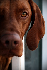 Anxiously waiting (Christopher Empson) Tags: dog pet topf25 50mm interestingness brodie vizsla explore hunter abigfave canonxti exploredon20080220